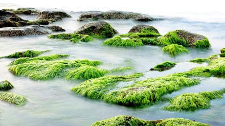 Velika potražnja za morskim algama kao dodatkom za stočnu hranu