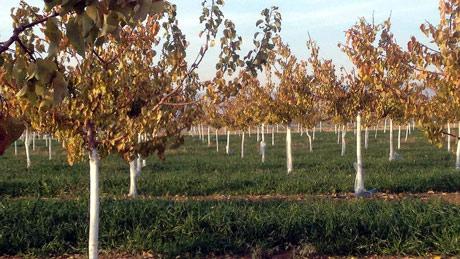 """""""Plava"""" jesen u voćnjaku"""
