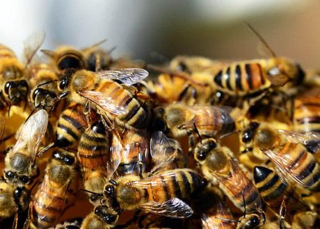 """I pčele """"glasaju"""""""