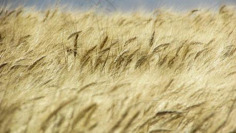 Velike zalihe lanjske pšenice opterećuju novi rod
