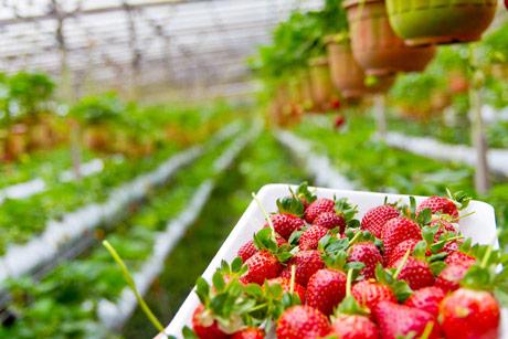"""Rekordno sunčano i toplo proleće """"poguralo"""" prinos i kvalitet jagoda u Velikoj Britaniji"""