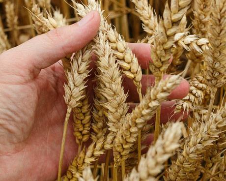 ZSV: Za prinos od 4,5 t/ha proizvodna cena pšenice 21,06 din/kg