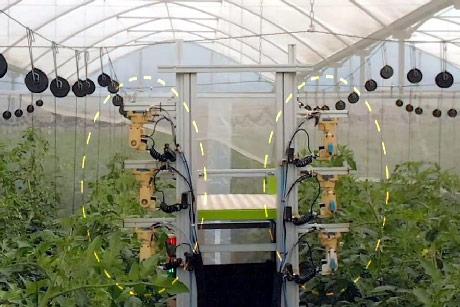 Robot oprašuje paradajz u staklenicima