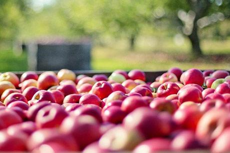 Izvoz jabuka – kada bi svaka godina bila kao ova