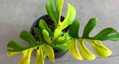 Ko plaća 5000 dolara za jednu sobnu biljku?
