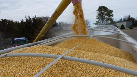 Ipak, bez rekordnog roda kukuruza