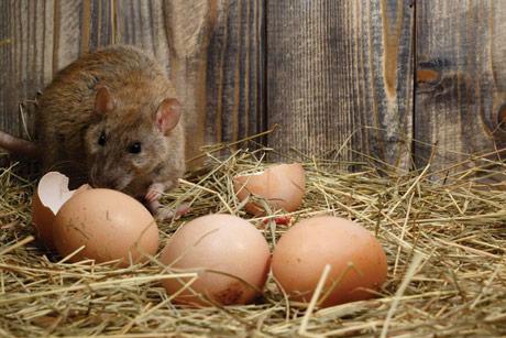8 najjednostavnijih saveta kako se rešiti pacova i miševa