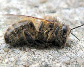 Milioni uginulih pčela u BiH