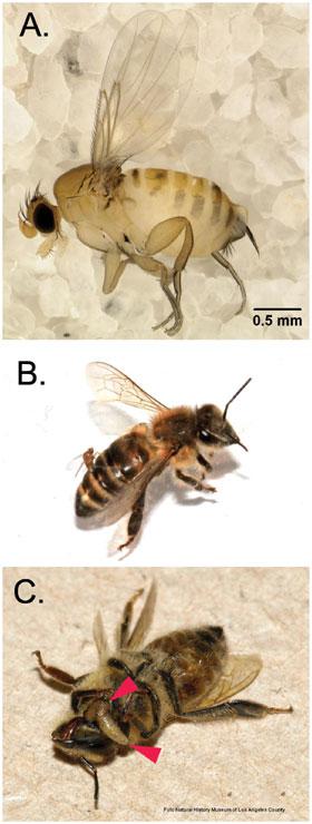 Nova pretnja pčelama