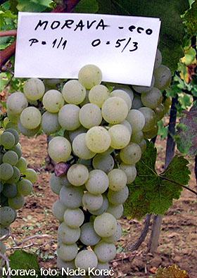 Ekološka vina od naših sorti