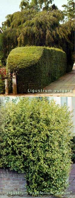 Ligustrum – pionir žive ograde