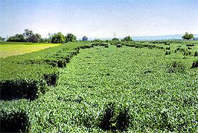 Razlozi poleganja pšenice u sezoni 2012/13.