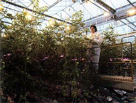 Međuredno osvetljenje pri gajenju paradajza