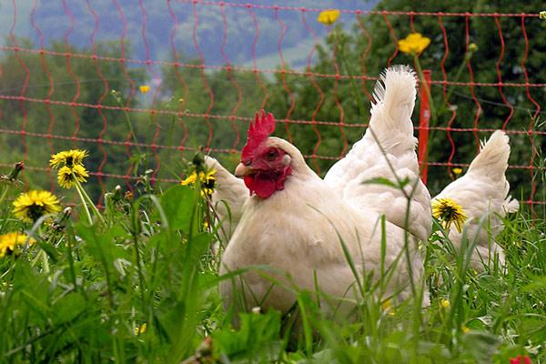 Rentirajte kokošku ako hoćete sveža jaja