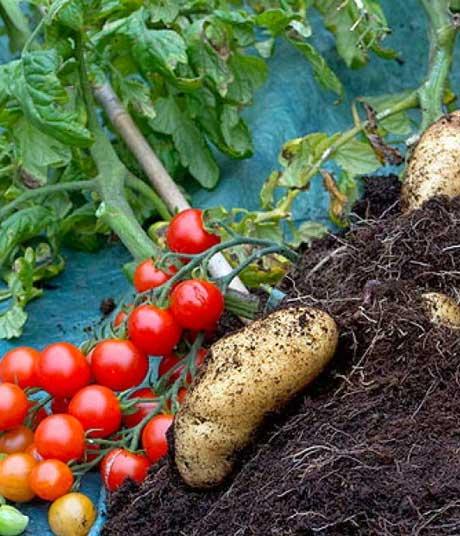 Novo povrće: Duo paradajza i krompira