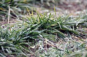 Mraz oštetio pšenicu, biće i presejavanja