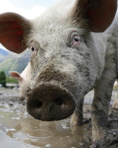 Afrička kuga svinja u Mađarskoj, kod nas povećana kontrola