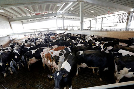 Zašto se krave leti gomilaju na jednom mestu u štali?