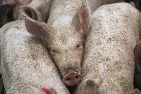 Ogroman broj svinja u Španiji problem za životnu sredinu