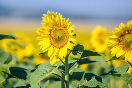 Primena precizne poljoprivrede u proizvodnji suncokreta