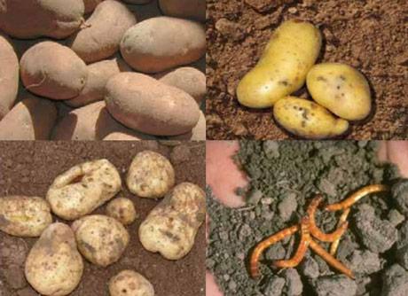 Zaštita krompira od žičara