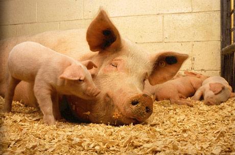 Afrička kuga svinja. Proizvođači u Belgiji pred kolapsom.