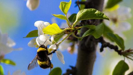 Svetski dan pčela je bio i prošao. A šta je sa bumbarima?