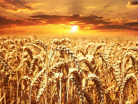 Interventni otkup ne podiže cenu pšenice