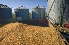 Kukuruz: Pronaći kompromis između kvantiteta i kvaliteta