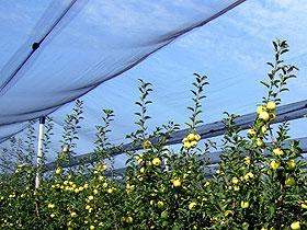Zaštita jabuke od smotavca pomoću protivgradnih i ostalih mreža
