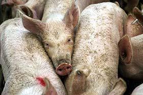 Uzroci sloma našeg svinjarstva
