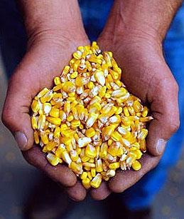 Na pragu setve kukuruza