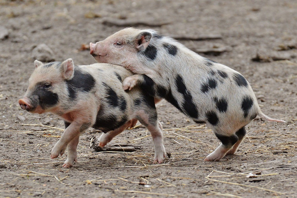 Ima li kraja rastu cena svinja